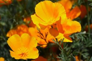 bigstock-Poppy-Flowers-18193199-1